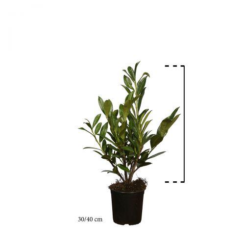 Kirschlorbeer 'Caucasica'  Topf 30-40 cm