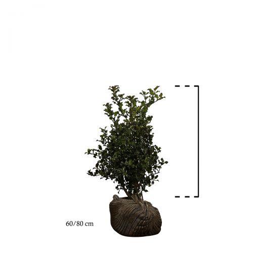 Stechpalme Wurzelballen 60-80 cm