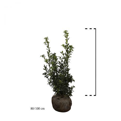 Stechpalme Wurzelballen 80-100 cm