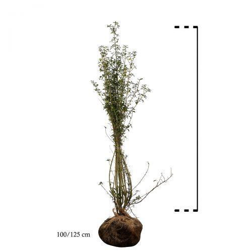 Buchsbaum - Sträucher Wurzelballen 100-125 cm Extra Qualtität