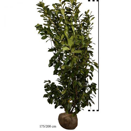 Kirschlorbeer 'Novita' Wurzelballen 80-100 cm