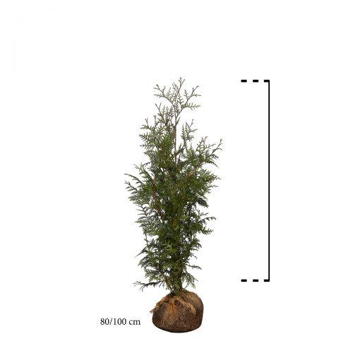 Lebensbaum 'Excelsa' Wurzelballen 80-100 cm