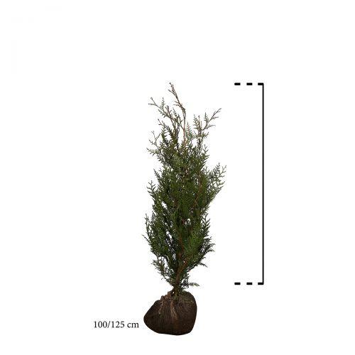 Lebensbaum 'Atrovirens' Wurzelballen 100-125 cm