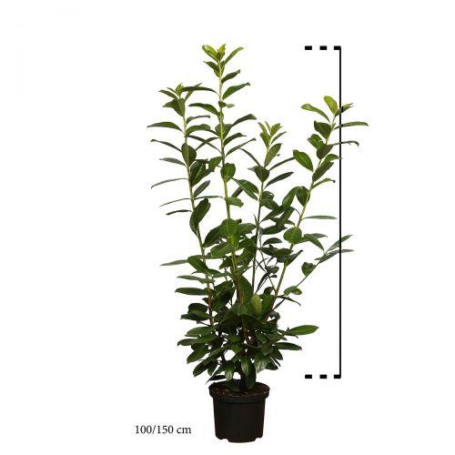 Kirschlorbeer 'Novita' Topf 100-125 cm