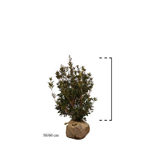 Herbstblühende Duftblüte Wurzelballen 50-60 cm