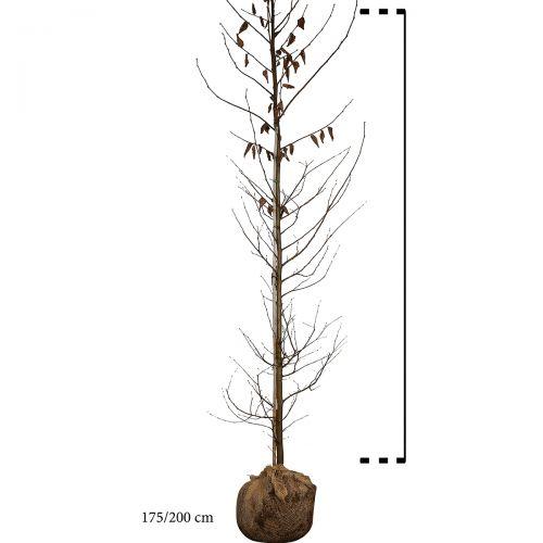 Hainbuche, Weißbuche  Wurzelballen 175-200 cm Extra Qualtität