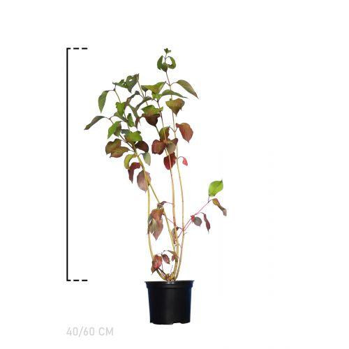 Rotholziger Hartriegel  Topf 40-60 cm