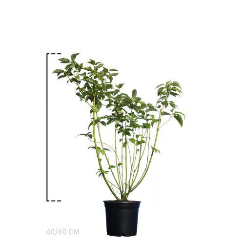 Gelbholz-Hartriegel  Topf 40-60 cm Extra Qualtität