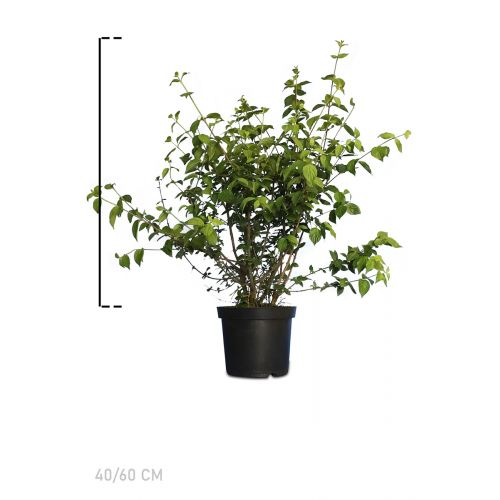 Gelber Hartriegel Topf 40-60 cm
