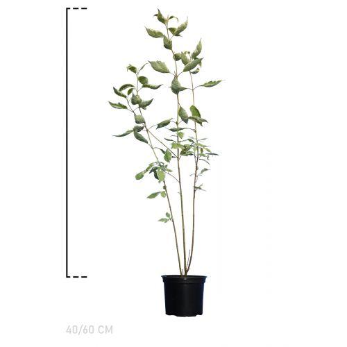 Rotholziger Hartriegel 'Elegantissima' Topf 40-60 cm