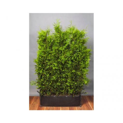 Lebensbaum 'Brabant' Fertig-Hecken 160-170 cm Fertig-Hecken