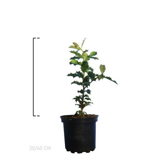 Stechpalme Topf 20-40 cm