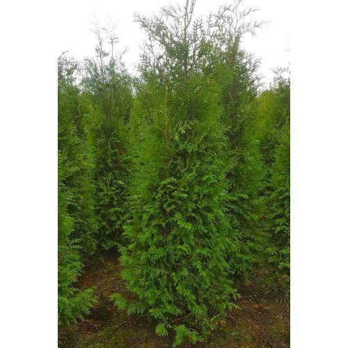 Lebensbaum 'Brabant' Wurzelballen 200-225 cm Extra Qualtität
