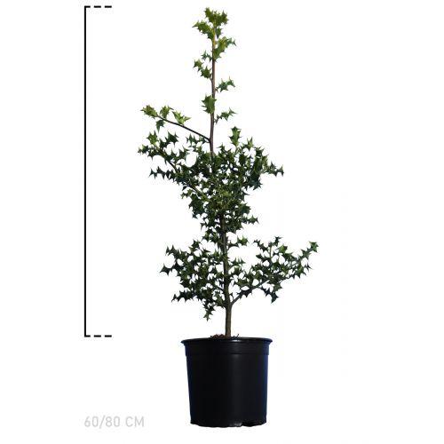 Stechpalme Topf 60-80 cm