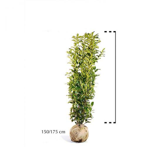 Kirschlorbeer 'Genolia'® Wurzelballen 150-175 cm Extra Qualtität