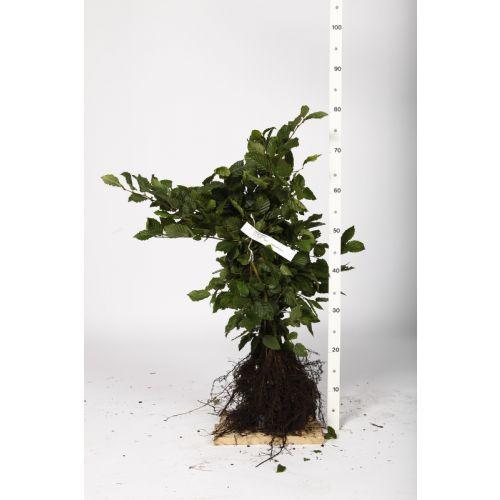 Hainbuche, Weißbuche  Wurzelware 40-60 cm
