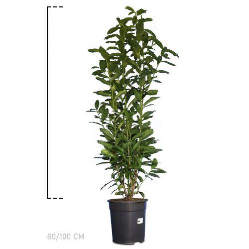 Kirschlorbeer 'Genolia'® Topf 80-100 cm