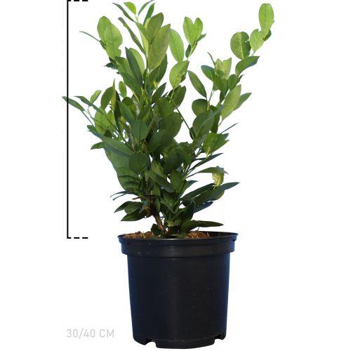 Kirschlorbeer 'Mano'  Topf 30-40 cm