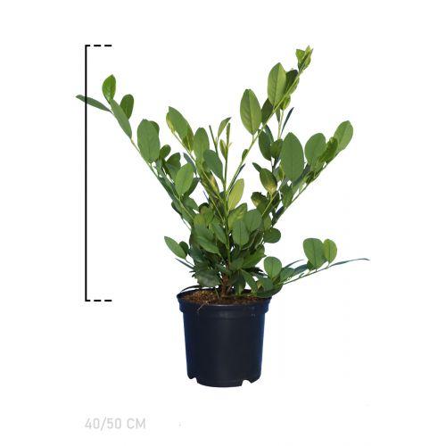 Kirschlorbeer 'Mano'  Topf 40-50 cm