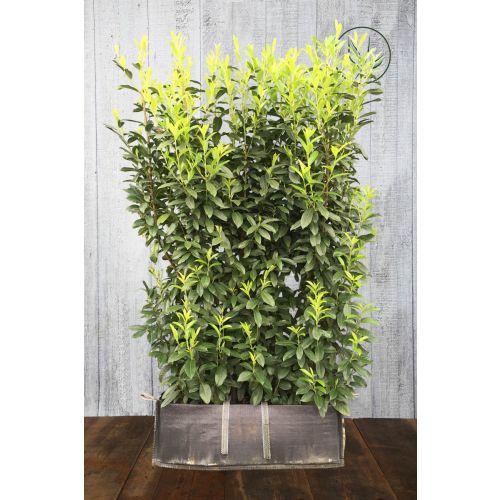 Kirschlorbeer 'Genolia'® Fertig-Hecken 180-190 cm Fertig-Hecken