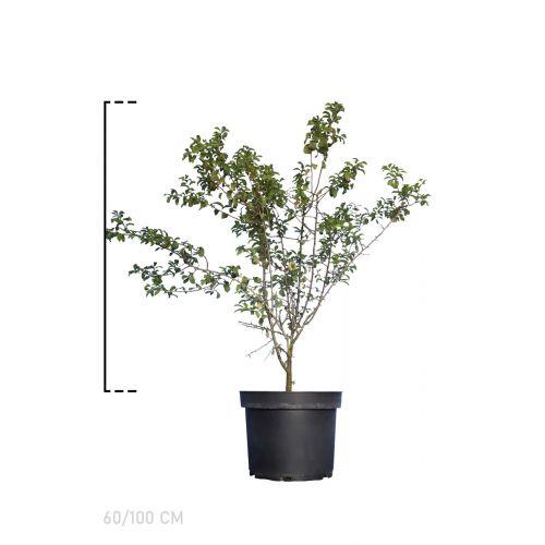 Schlehe  Topf 60-100 cm