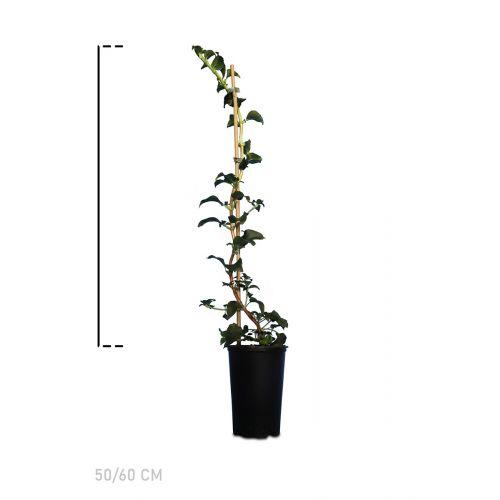 Kletterhortensie Topf 50-60 cm