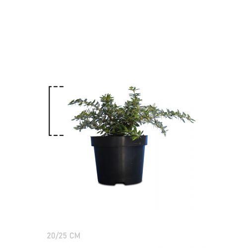 Warzige Berberitze Topf 20-25 cm