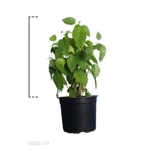 Ballhortensie 'Annabelle'  Topf 60-80 cm