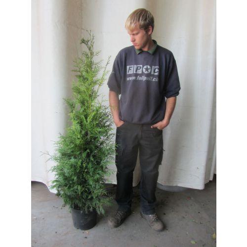 Lebensbaum 'Martin' Topf 150-175 cm Extra Qualtität