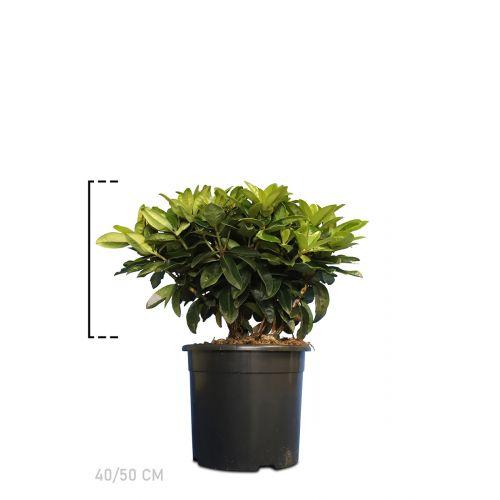 Rhododendron 'Gomer Waterer'  Topf 40-50 cm Extra Qualtität