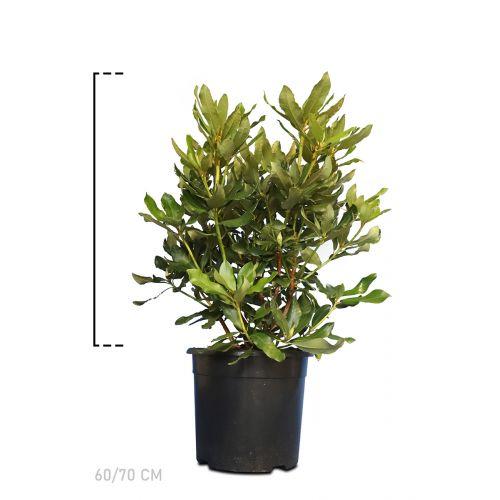 Rhododendron 'Nova Zembla'  Topf 60-70 cm Extra Qualtität