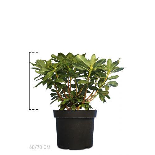 Rhododendron 'Horizon Monarch'  Topf 60-70 cm Extra Qualtität