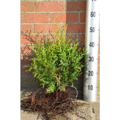 Lebensbaum 'Brabant' Wurzelware 30-40 cm