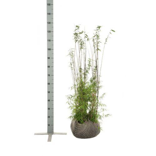 Jadebambus Wurzelballen 80-100 cm