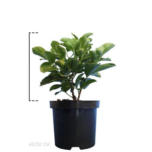 Kirschlorbeer 'Etna'  Topf 40-50 cm