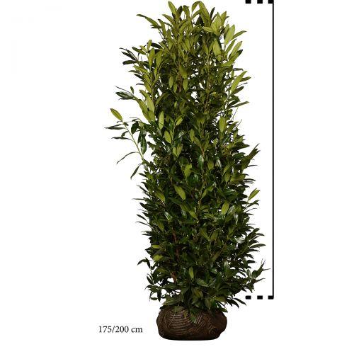 Kirschlorbeer 'Herbergii' Wurzelballen 175-200 cm Extra Qualtität