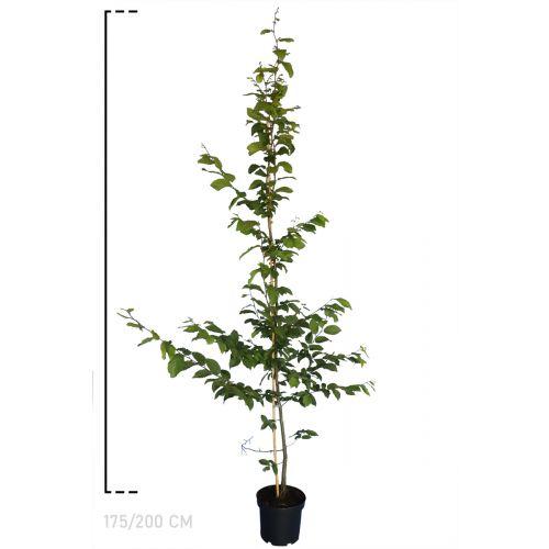 Hainbuche, Weißbuche  Topf 175-200 cm Extra Qualtität