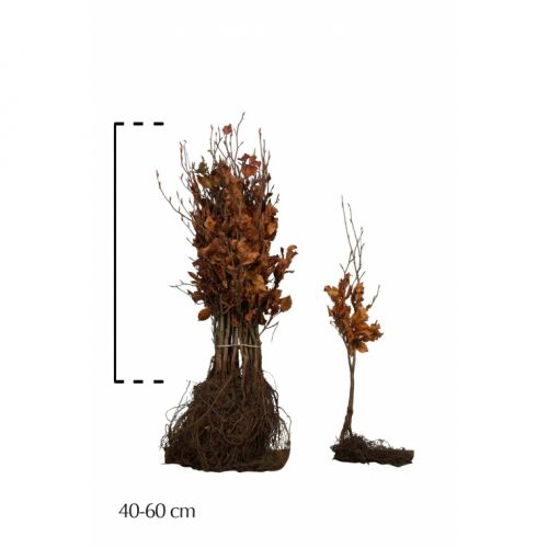 Rotbuche  Wurzelware 40-60 cm