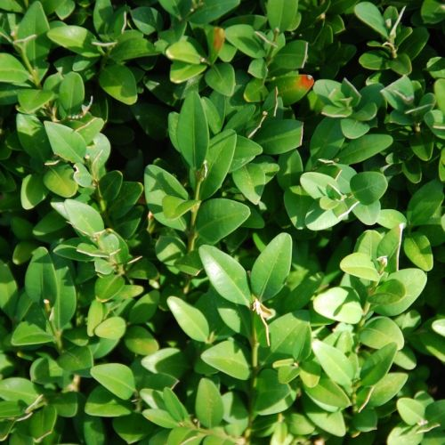 Buchsbaum – Sträucher