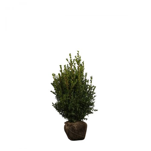 Buchsbaum - Sträucher Wurzelballen 40-50 cm