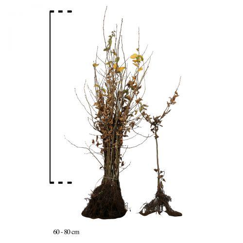 Hainbuche, Weißbuche  Wurzelware 60-80 cm