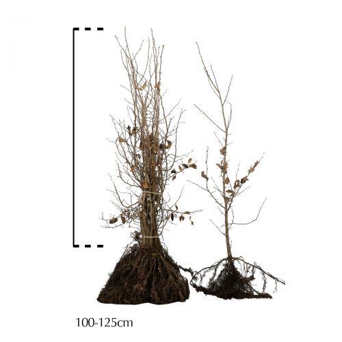 Hainbuche, Weißbuche  Wurzelware 100-125 cm Extra Qualtität