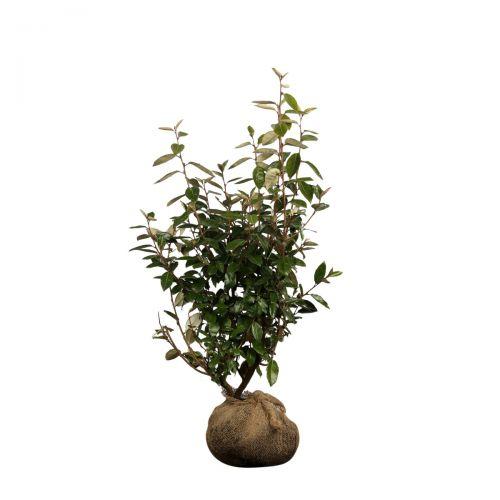 Wintergrüne Ölweide Wurzelballen 80-100 cm