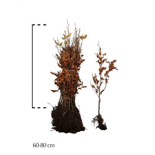 Blutbuche   Wurzelware 60-80 cm Extra Qualtität
