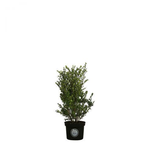 Japanische Stechpalme 'Dark Green'®  Im Container 40-60 cm