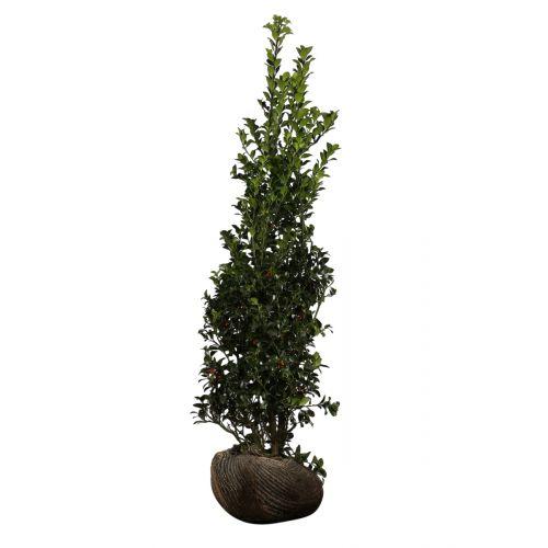Stechpalme 'Blue Maid' Wurzelballen 150-175 cm Extra Qualtität