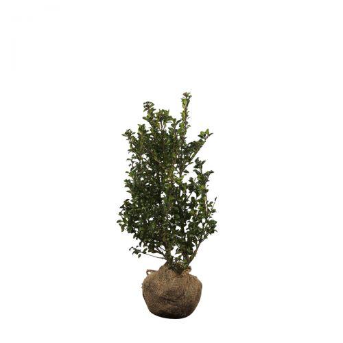 Stechpalme 'Heckenstar' Wurzelballen 60-80 cm