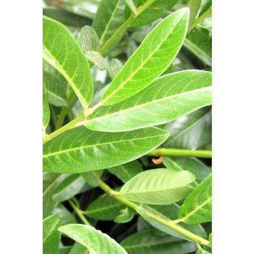 Kirschlorbeer 'Genolia'® Wurzelballen 175-200 cm Extra Qualtität