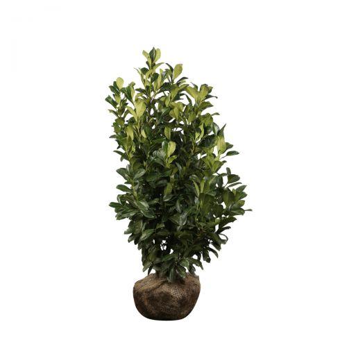 Kirschlorbeer 'Etna'  Wurzelballen 100-125 cm Extra Qualtität
