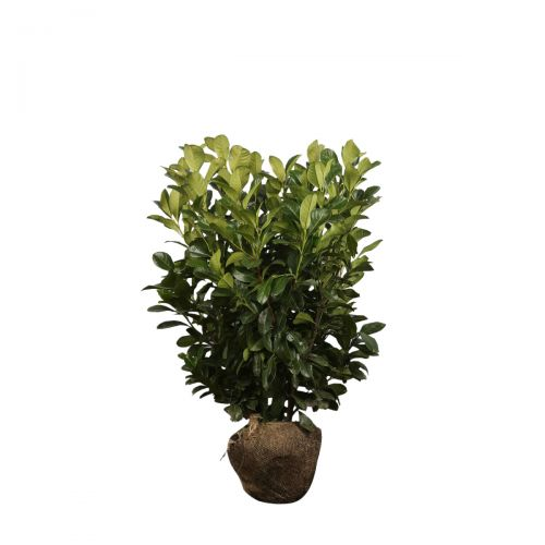 Kirschlorbeer 'Etna'  Wurzelballen 60-80 cm Extra Qualtität